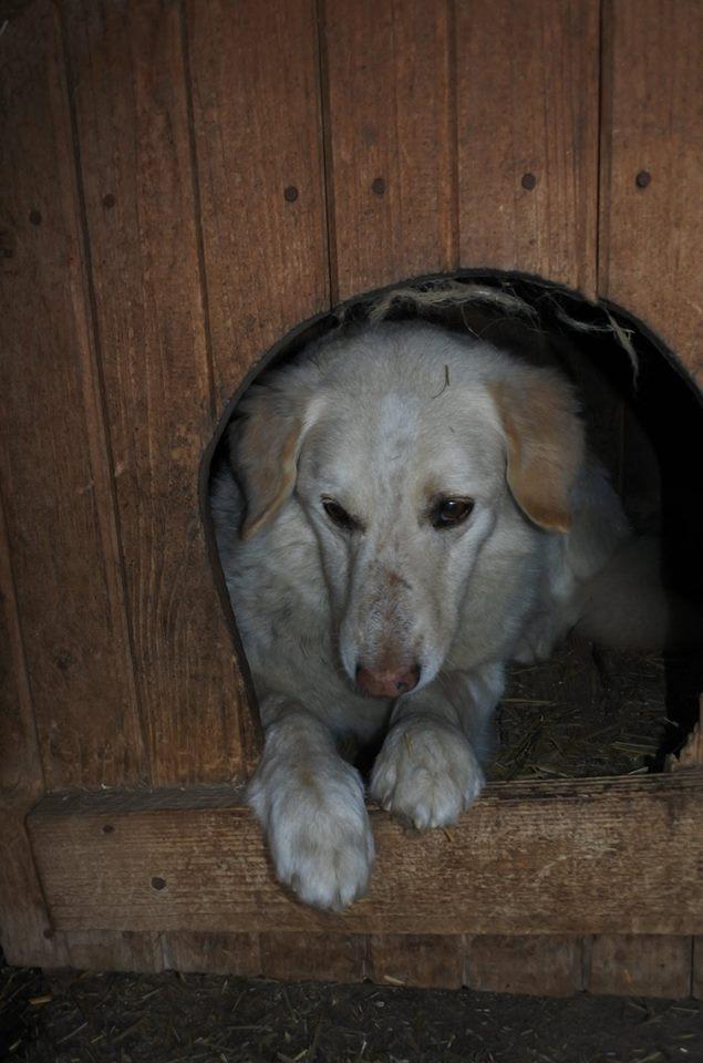 BALANUCH, mâle croisé berger sauvé de Pallady, né en 2009 parrainé par Nathalie Gamblin-SC-R-SOS- - Page 2 56949312
