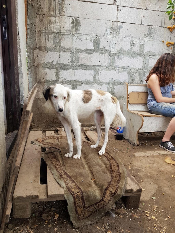 BULMA, née en mai 2017, SORTIE DE MIHAILESTI EN JUILLET 2017- marrainée par les3loulous -R-SOS-SC 56f41f10
