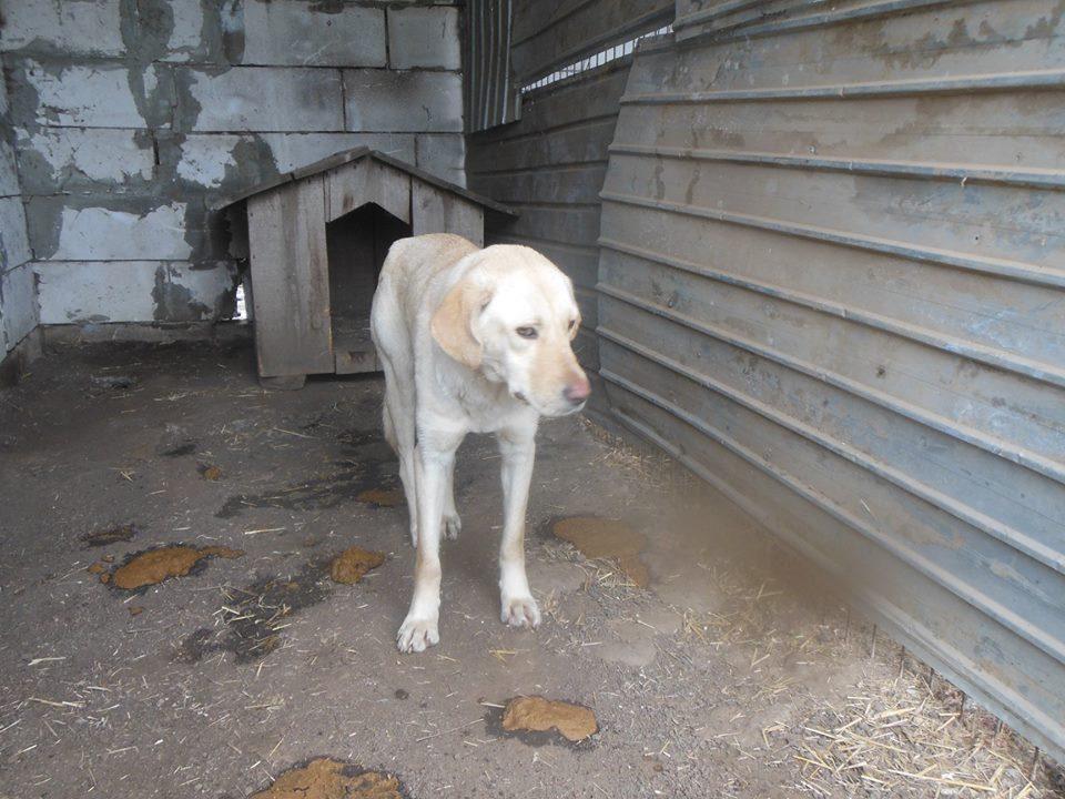 ELINA, femelle née en 2016, type Labrador sortie de l'équarrissage le 10 Avril- marrainée par Roxinette -R-SC-SOS 57049110
