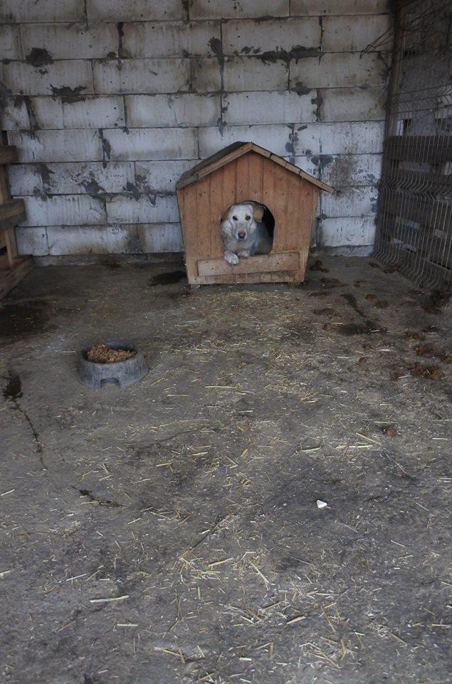 BALANUCH, mâle croisé berger sauvé de Pallady, né en 2009 parrainé par Nathalie Gamblin-SC-R-SOS- - Page 2 57297811