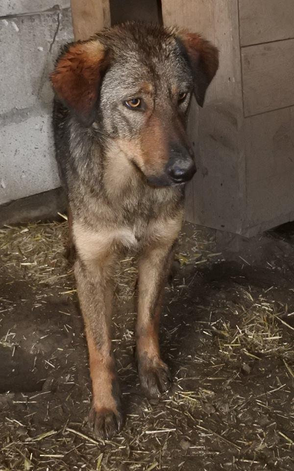OUZO, né en sept 2017,  croisé berger, frère de Taliya et Nami, trouvé dans la rue en mai 2018 - Parrainé par Viviane -R- 57331413