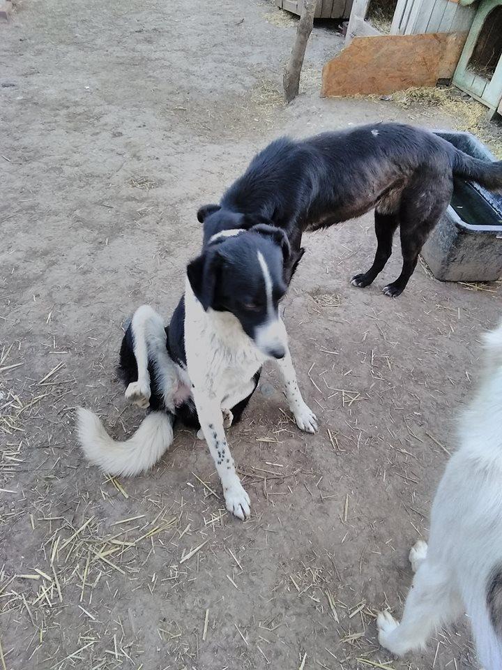 GAYA- femelle noire et blanche née en 2013- parrainée par Skara - SC-SOS-R- - Page 4 59465312