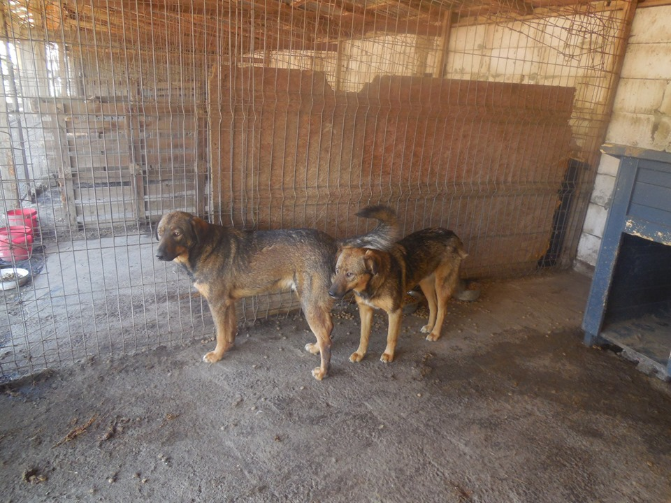NAMI, croisé berger, soeur de Taliya et Ouzo, trouvée dans la rue en mai 2018- marrainée par Guyenne -R- 60950911