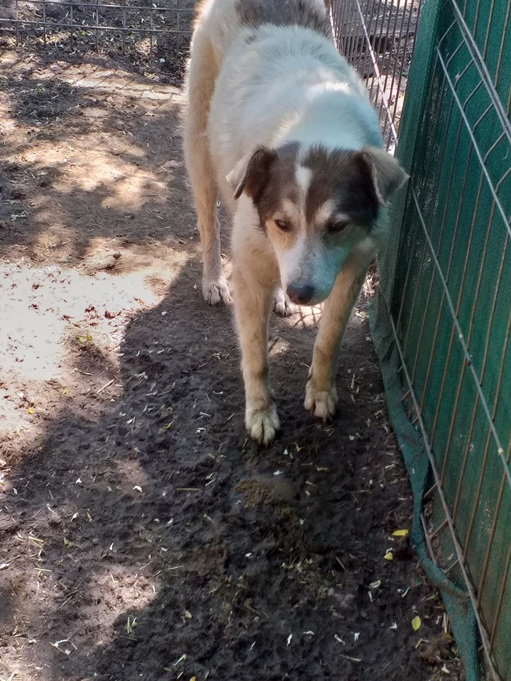 BONI -  x berger  10 ans  (en box depuis 7 ans)  Asso Arche d'Eternité - Lenuta (Roumanie) 61670710