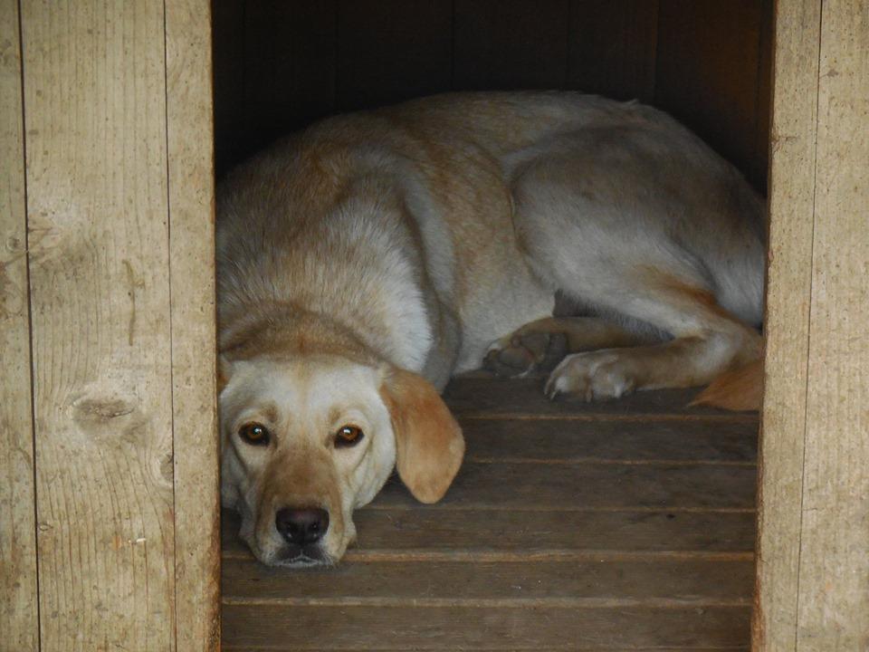 ELINA, femelle née en 2016, type Labrador sortie de l'équarrissage le 10 Avril- marrainée par Roxinette -R-SC-SOS 62555610