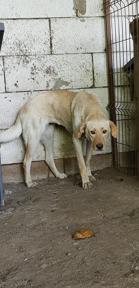 ELINA, femelle née en 2016, type Labrador sortie de l'équarrissage le 10 Avril- marrainée par Roxinette -R-SC-SOS 64958610