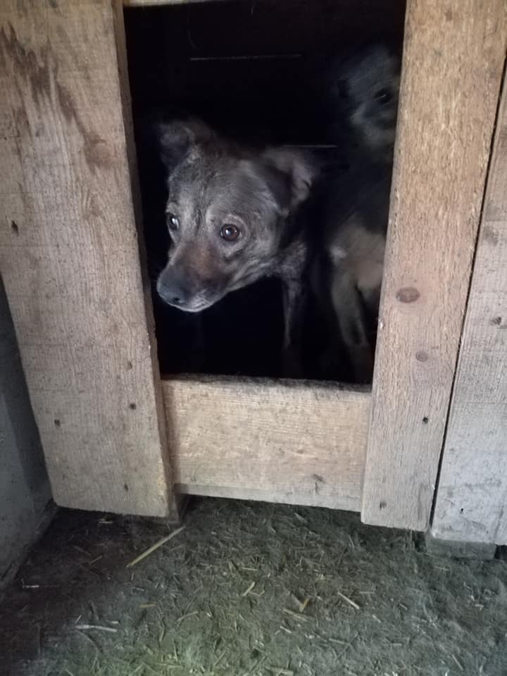 KORIA femelle née en 2015, poils court - couleur charbonnée - sortie de l'équarrissage le 11 mars 2017 - Parrainée par Mirko78 et Skara 65057810