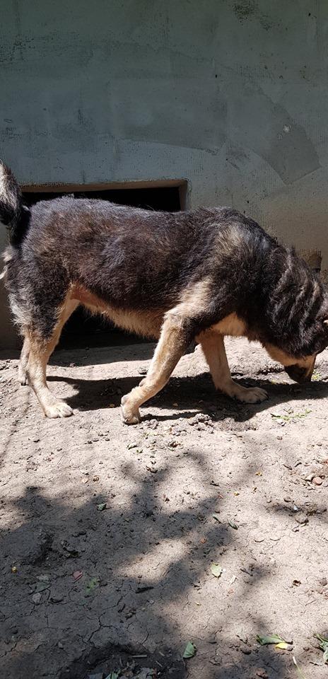 SOUKI, Femelle type berger, née en 2014 - Noire et crème- marrainée par Myri_Bonnie -R-SC-SOS- 65249410