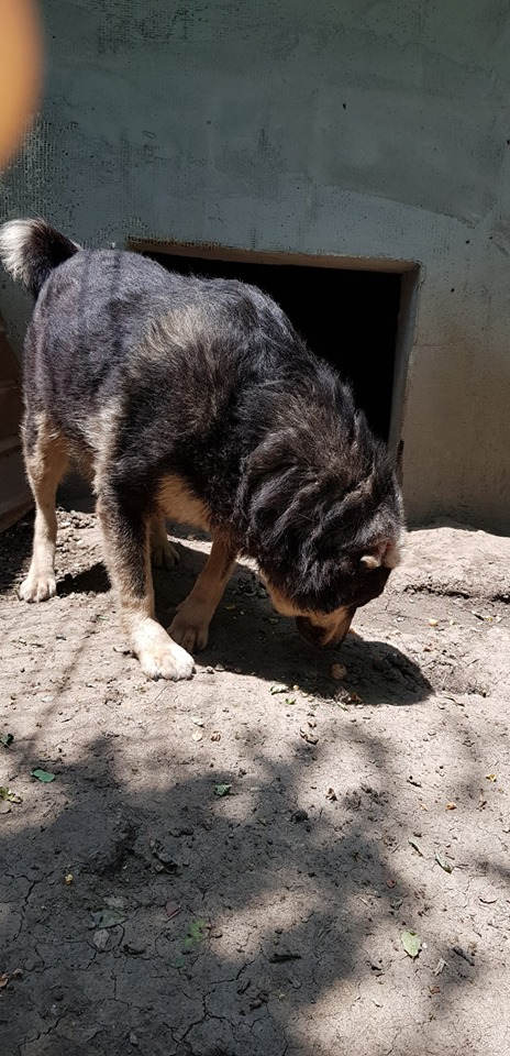 SOUKI, Femelle type berger, née en 2014 - Noire et crème- marrainée par Myri_Bonnie -R-SC-SOS- 65269910