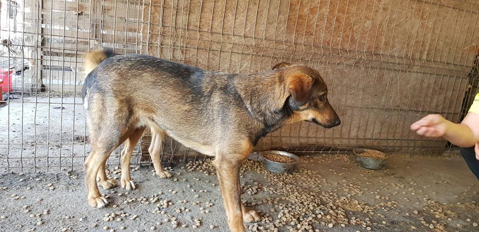 OUZO, né en sept 2017,  croisé berger, frère de Taliya et Nami, trouvé dans la rue en mai 2018 - Parrainé par Viviane -R- 65480111