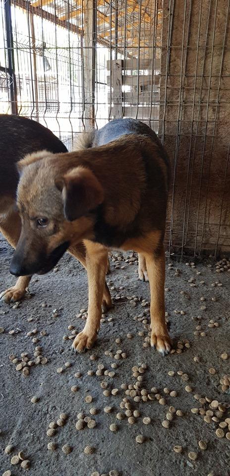 NAMI, croisé berger, soeur de Taliya et Ouzo, trouvée dans la rue en mai 2018- marrainée par Guyenne -R- 65498411