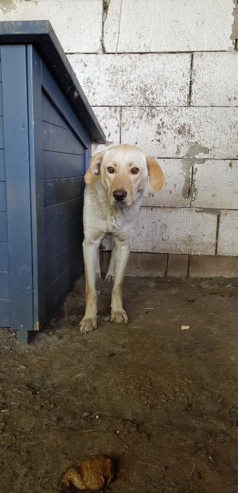 ELINA, femelle née en 2016, type Labrador sortie de l'équarrissage le 10 Avril- marrainée par Roxinette -R-SC-SOS 65638910