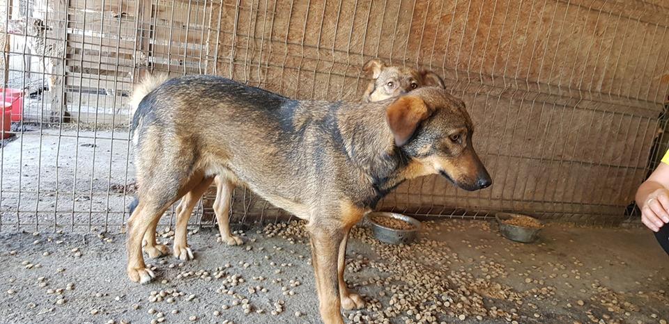 OUZO, né en sept 2017,  croisé berger, frère de Taliya et Nami, trouvé dans la rue en mai 2018 - Parrainé par Viviane -R- 65736211