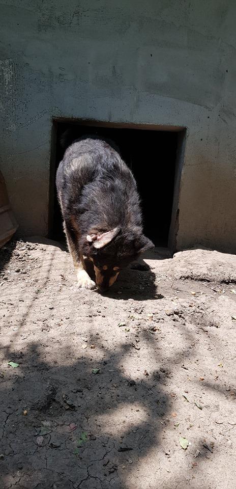 SOUKI, Femelle type berger, née en 2014 - Noire et crème- marrainée par Myri_Bonnie -R-SC-SOS- 65786410