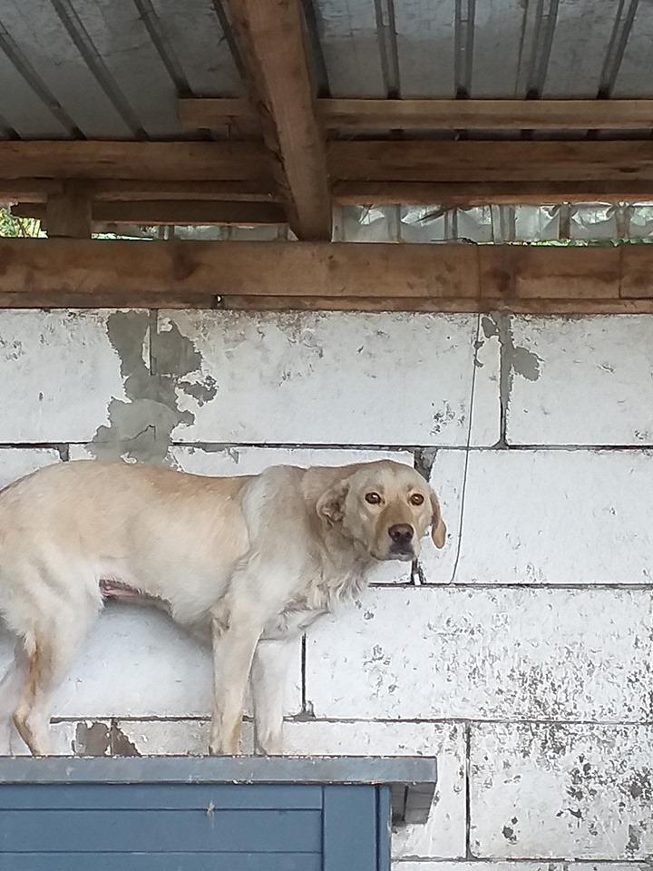ELINA, femelle née en 2016, type Labrador sortie de l'équarrissage le 10 Avril- marrainée par Roxinette -R-SC-SOS 66478210