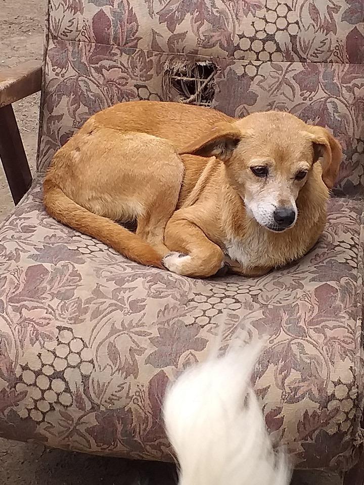 Chiroky - femelle né en 2011 sauvé de l'équarrissage le 18 février 2019 - parrainé par Hashleyalex-R-SOS- 66983210