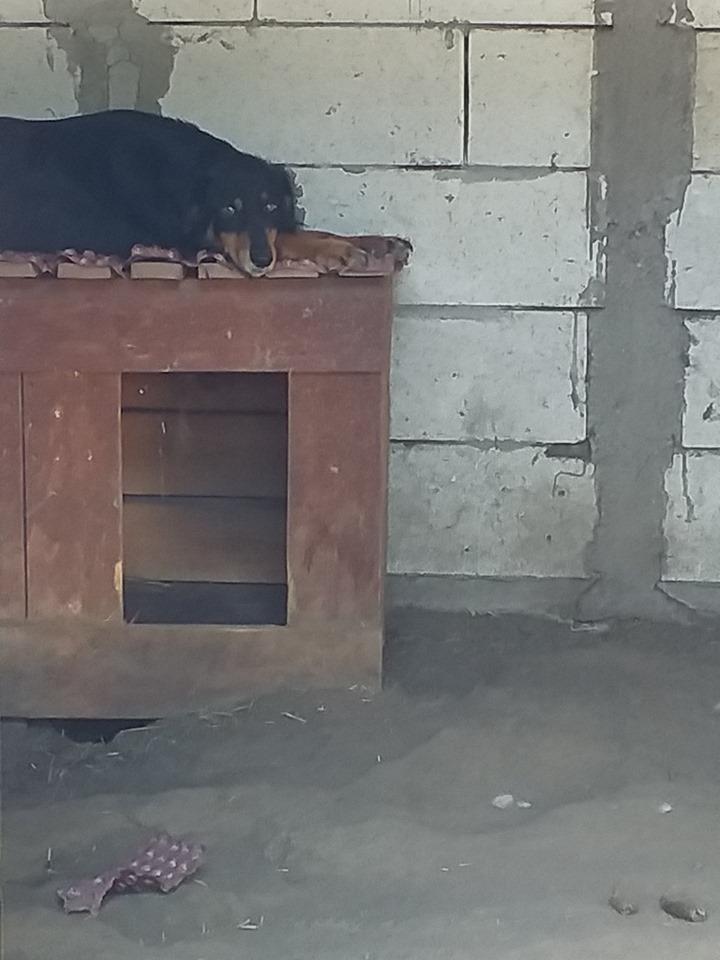 BACCARAT, mâle né en 2014, race commune noir et feu, sauvé en mars 2017 - parrainé par Toffee - R- 68518511