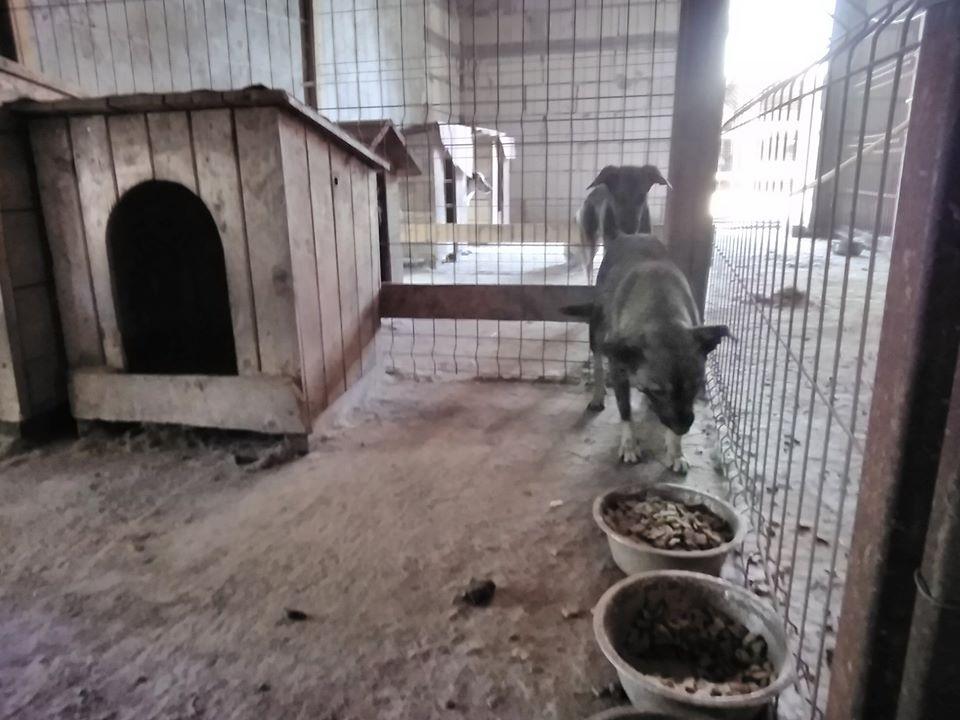 Takoma -femelle née en 2015 - jumelle de Koria  - sortie de l'équarrissage le 11 mars 2017- Marrainée par Skara-SC-SOS 69870411