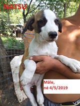 NATSU chiot mâle de Vitae - tricolore - né le 04/05/2019 en FA dans le 08 R-SC 70127410