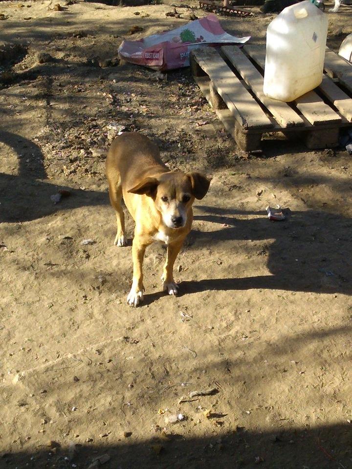 CHIROKY Petite femelle née le 13/12/2010 sauvée de l'équarrissage EN FA DANS LE 60 - parrainé par Hashleyalex-R-SOS-SC 70515410