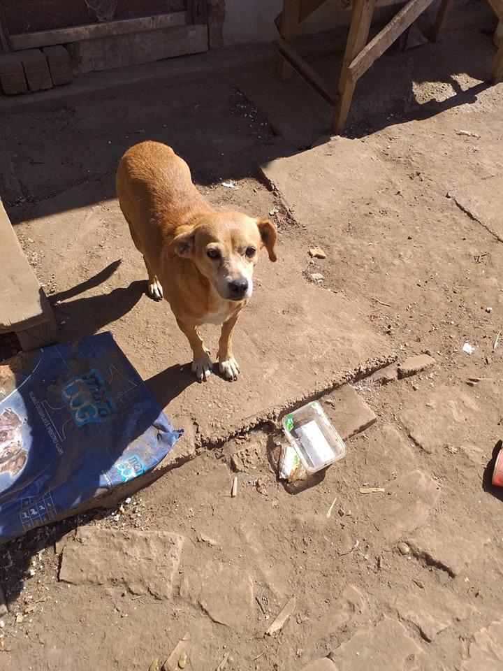 CHIROKY Petite femelle née le 13/12/2010 sauvée de l'équarrissage EN FA DANS LE 60 - parrainé par Hashleyalex-R-SOS-SC 70985710