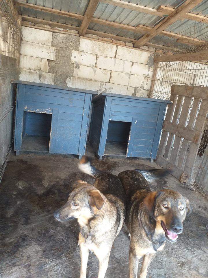 OUZO, né en sept 2017,  croisé berger, frère de Taliya et Nami, trouvé dans la rue en mai 2018 - Parrainé par Viviane -R- - Page 2 71112314