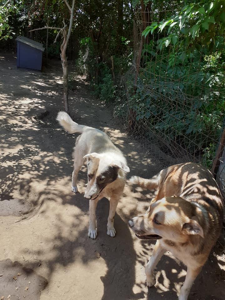 ELENA - femelle née en 2016 et ses 4 chiots sauvés de l'équarissage de BRAGADIRU - parrainée par Marguerite V. -R-SC-SOS- - Page 2 78356211