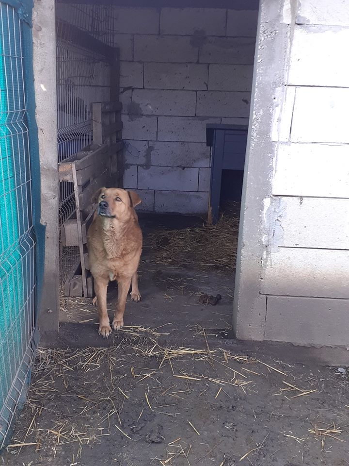 BOSKO  NÉ EN 2013 - croisé berger fauve - sauvé en mars 2017 - Parrainé par Ségo_Jack - R-SC- 80678010