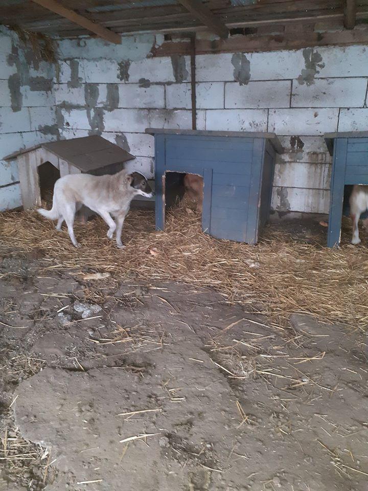 elena - ELENA - femelle née en 2016 et ses 4 chiots sauvés de l'équarissage de BRAGADIRU - parrainée par Marguerite V. -R-SC-SOS- 81776010