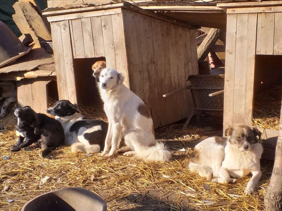 GAYA- femelle noire et blanche née en 2013- parrainée par Skara - SC-SOS-R- - Page 4 82250713