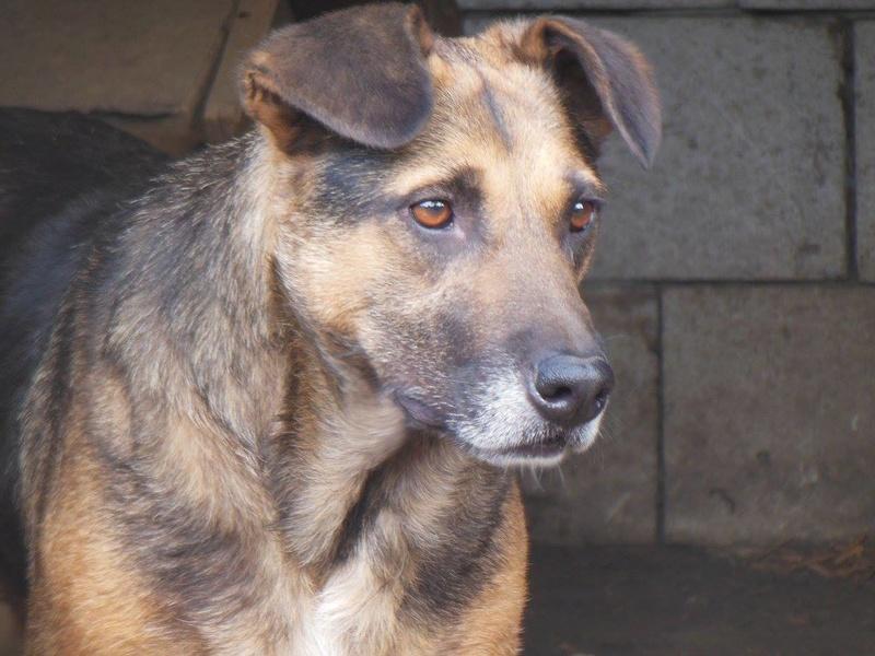 MADDOX - x berger allemand 9 ans (7 ans de refuge)  Asso Arche d'Eternité - Lenuta (Roumanie)- 82922513