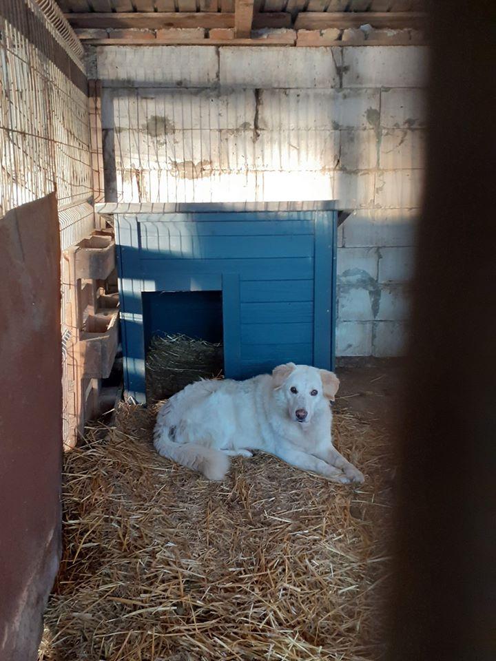 BALANUCH, mâle croisé berger sauvé de Pallady, né en 2009 parrainé par Nathalie G. -Gage Coeur  Myri_Bonnie-SC-R-SOS- - Page 3 83541910