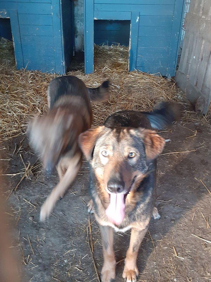 OUZO, né en sept 2017,  croisé berger, frère de Taliya et Nami, trouvé dans la rue en mai 2018 - Parrainé par Viviane -R- - Page 2 84177910