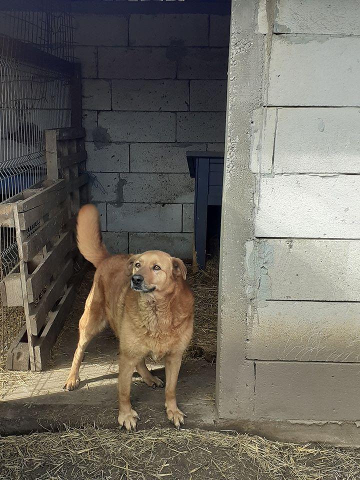 BOSKO  NÉ EN 2013 - croisé berger fauve - sauvé en mars 2017 - Parrainé par Ségo_Jack - R-SC- 87225910