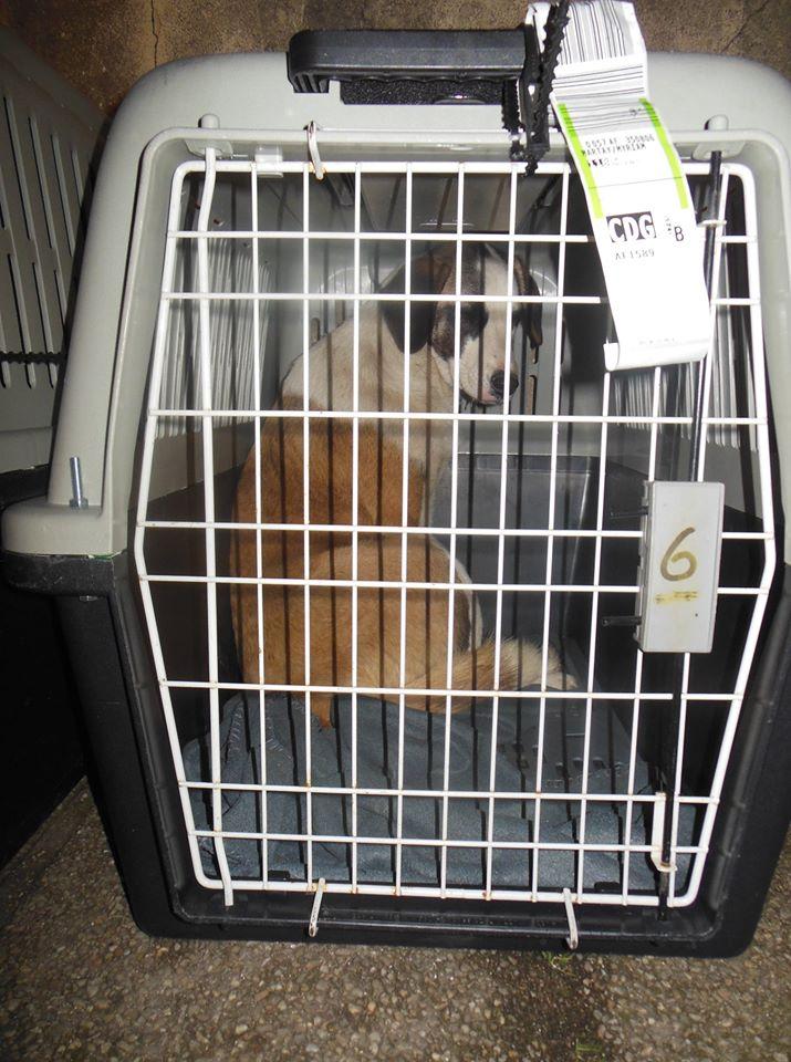 NATSU chiot mâle de Vitae - tricolore - né le 04/05/2019 en FA dans le 08 R-SC 87519310