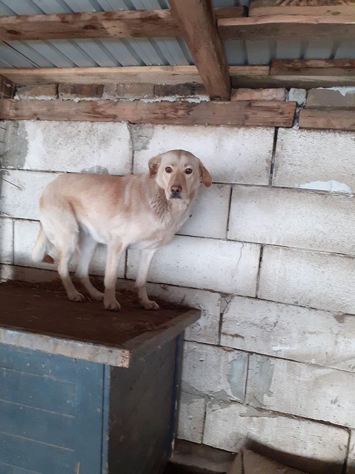 ELINA, femelle née en 2016, type Labrador sortie de l'équarrissage le 10 Avril- marrainée par Roxinette -R-SC-SOS 87860310