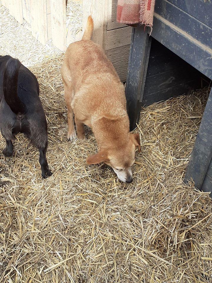CHIROKY Petite femelle née le 13/12/2010 sauvée de l'équarrissage EN FA DANS LE 60 - parrainé par Hashleyalex-R-SOS-SC 87946011