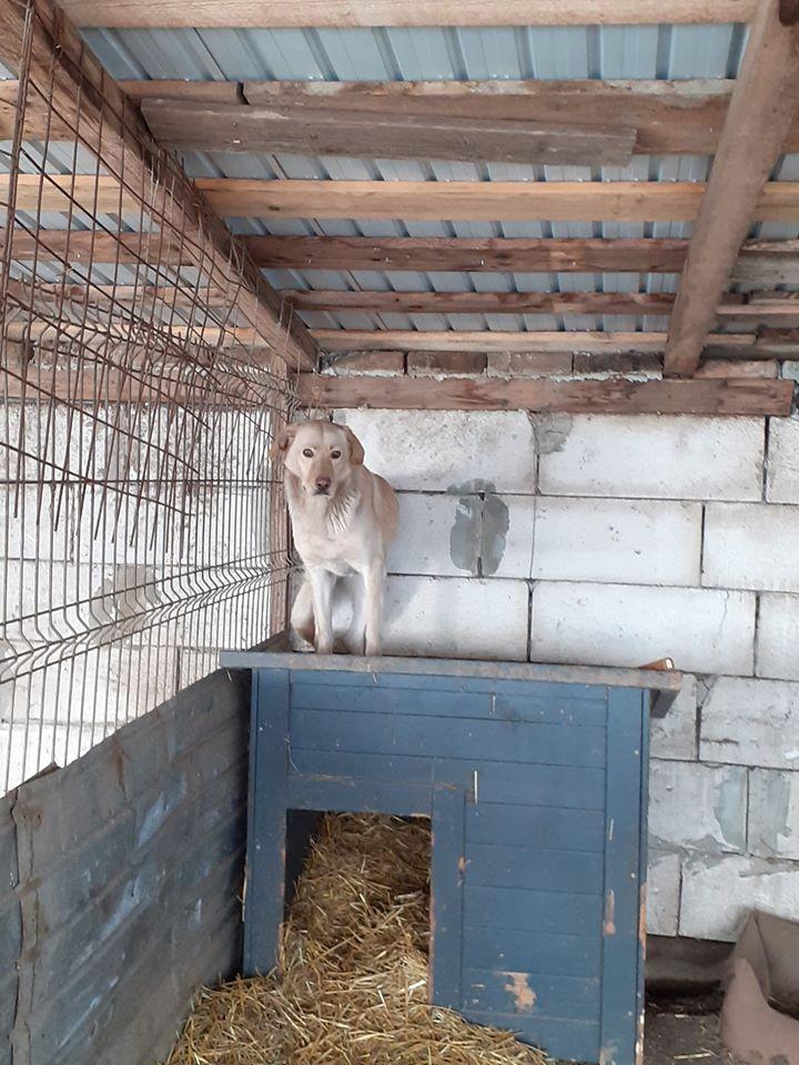 ELINA, femelle née en 2016, type Labrador sortie de l'équarrissage le 10 Avril- marrainée par Roxinette -R-SC-SOS 88225210