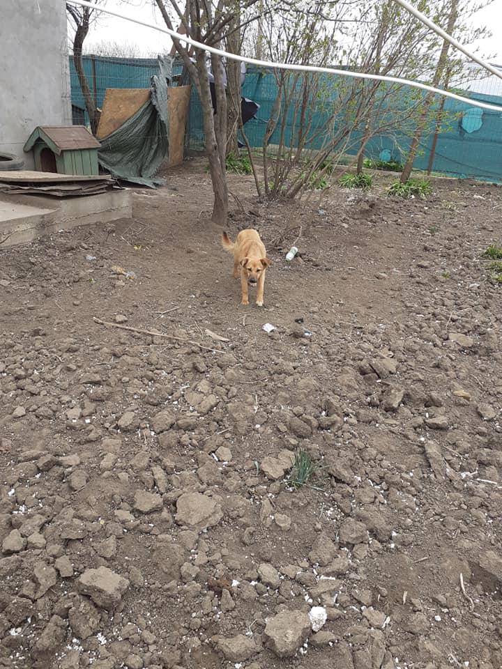 choupy - CHOUPY mâle né en Juin 2019 portée de 5 trouvés par Lénuta en septembre 2019- marrainé par Réglisse -R- 90259310