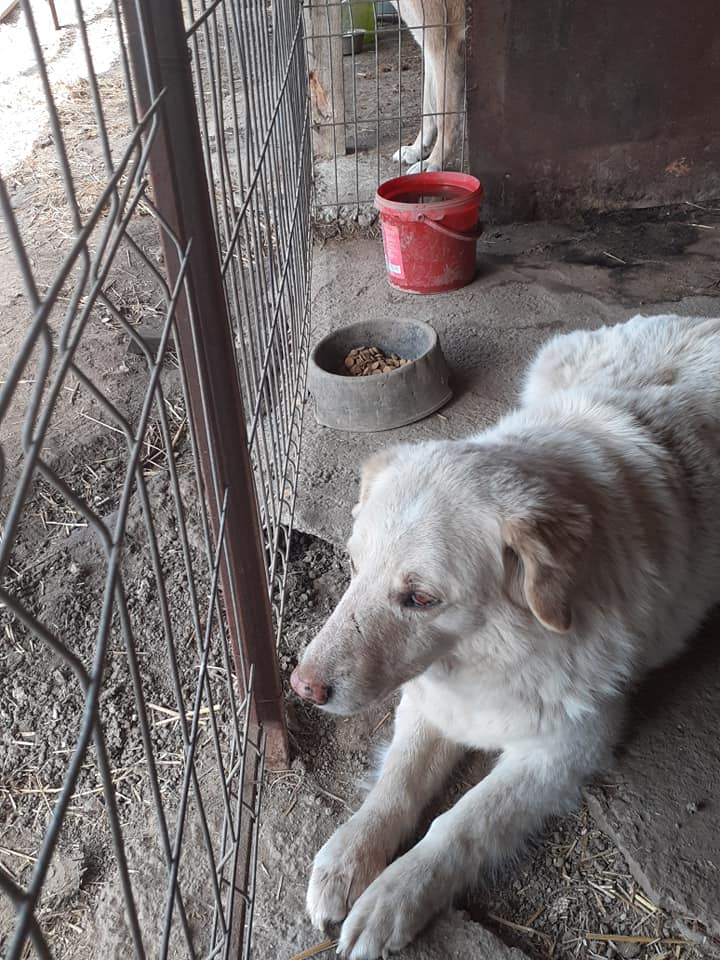 BALANUCH, mâle croisé berger sauvé de Pallady, né en 2009 parrainé par Nathalie G. -Gage Coeur  Myri_Bonnie-SC-R-SOS- - Page 3 91091710
