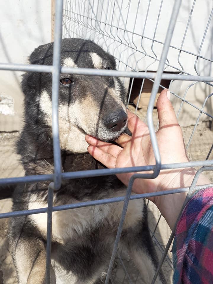 SOUKI, Femelle type berger, née en 2014 - Noire et crème- marrainée par Myri_Bonnie -R-SC-SOS- 91285011