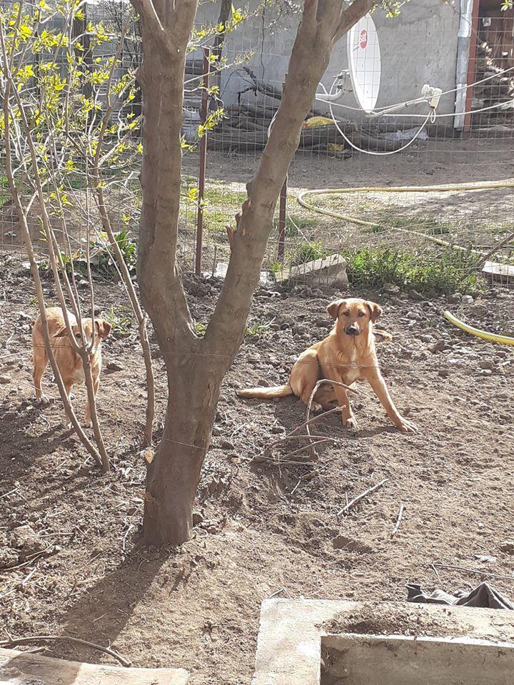 choupy - CHOUPY mâle né en Juin 2019 portée de 5 trouvés par Lénuta en septembre 2019- marrainé par Réglisse -R- 91397310