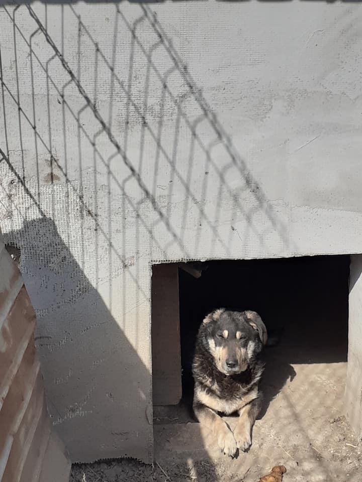 SOUKI, Femelle type berger, née en 2014 - Noire et crème- marrainée par Myri_Bonnie -R-SC-SOS- 91500810