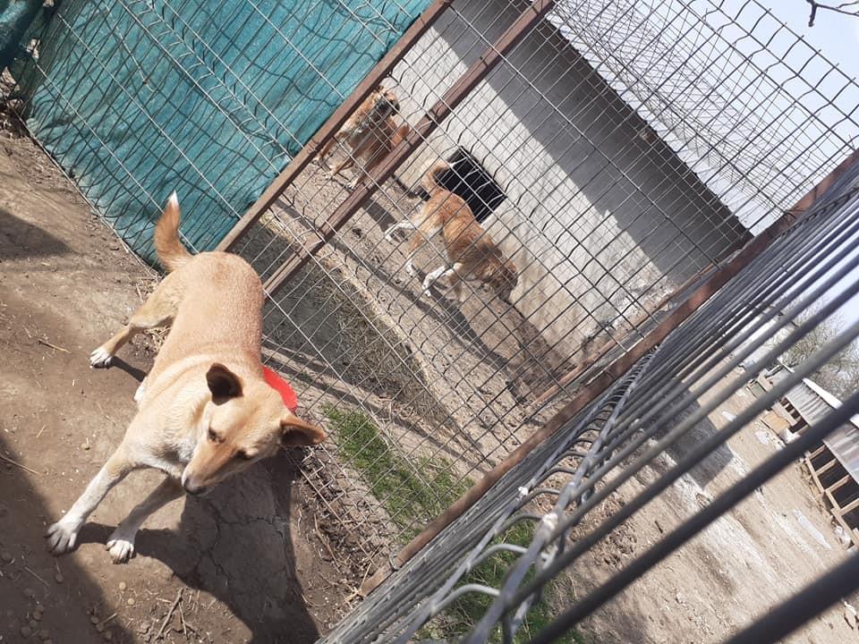 GINGER NEE LE 14/02/2016 Sauvée avec ses 4 chiots (tous décédés) EN FA DANS LE 60 - marrainée par Alexandra B. R-SOS-SC-30MA 91846310