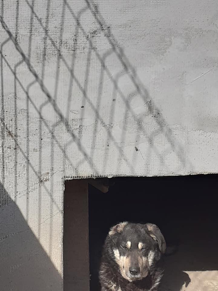 SOUKI, Femelle type berger, née en 2014 - Noire et crème- marrainée par Myri_Bonnie -R-SC-SOS- 91858210