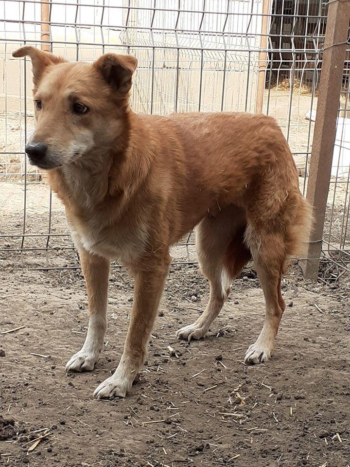 INAYA, femelle berger née en 2014 sauvée de l'equarrissage pour Noel - marrainé par Réglisse -  92243711