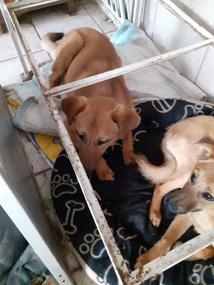 choupy - CHOUPY mâle né en Juin 2019 portée de 5 trouvés par Lénuta en septembre 2019- marrainé par Réglisse -R- 92353913