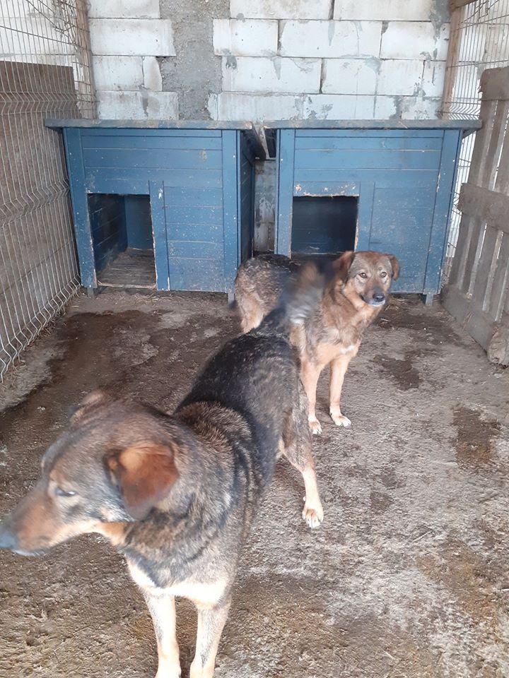 NAMI, croisé berger, soeur de Taliya et Ouzo, trouvée dans la rue en mai 2018- marrainée par Guyenne -R- 94574111
