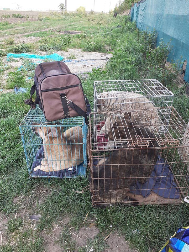 ARRY, mâle né en 2013, récupéré suite à l'avis d'expulsion du refuge de Radu- marrainé par Bouffy-R-SC-SOS 96265712