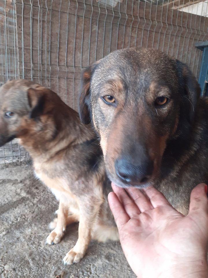 NAMI, croisé berger, soeur de Taliya et Ouzo, trouvée dans la rue en mai 2018- marrainée par Guyenne -R- 96266910